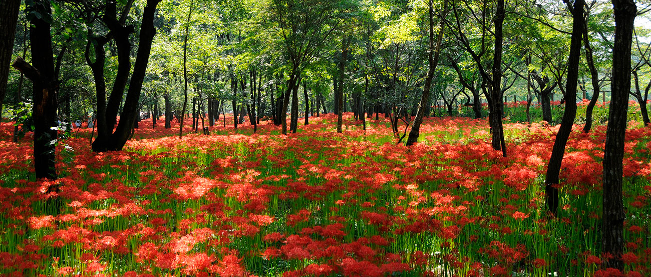 History and Spider Lilies in Saitama